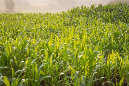 Corn field in early morning light in garden on background