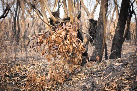 Photo pour Severely burnt Eucalyptus trees after a bushfire in The Blue Mountains - image libre de droit