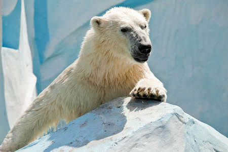white bear climbing on stone