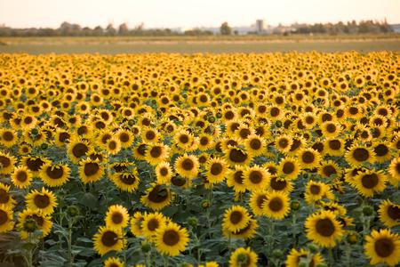 Photo pour Sunflowers field near Arles  in Provence, France - image libre de droit