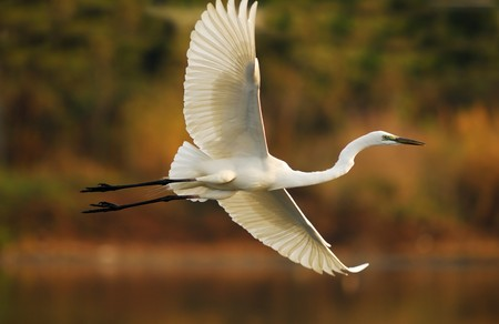 egrets play in waterland