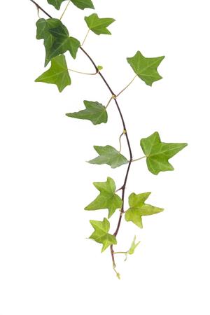 Foto de ivy leaves isolated on a white background - Imagen libre de derechos