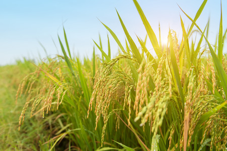 Photo for Paddy rice harvest - Royalty Free Image