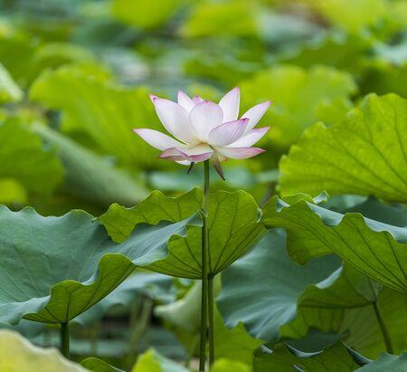 Photo pour blooming lotus flower in pond - image libre de droit
