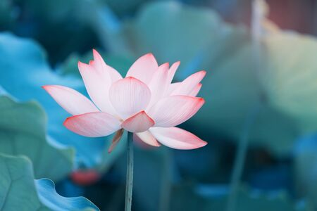 Photo for Lotus flower and Lotus flower plants - Royalty Free Image
