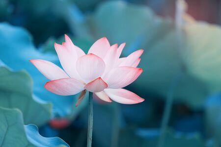 Foto de Lotus flower and Lotus flower plants - Imagen libre de derechos