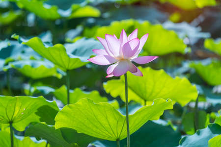 Photo pour Beauty pink lotus or water lily is in closeup in garden pond - image libre de droit
