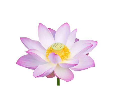 Photo pour lotus on isolated white background. - image libre de droit