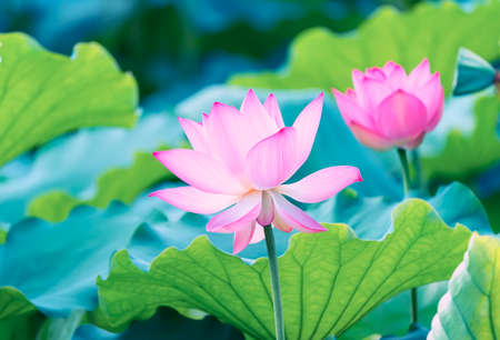 Photo for blooming lotus flower - Royalty Free Image