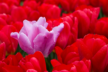 pink tulip and red tulips