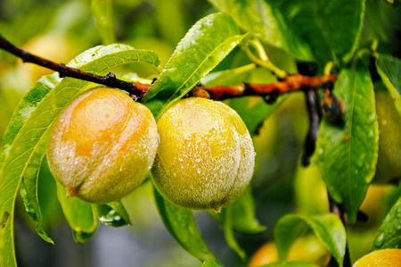 Photo of a green ripening peaches