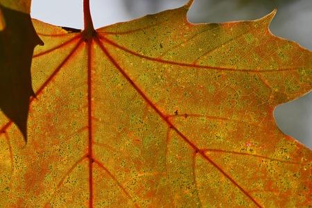 Blatt im Herbst - leaf in autumn