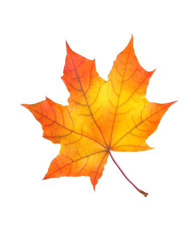 beautiful colorful autumn maple leaf isolated on white background