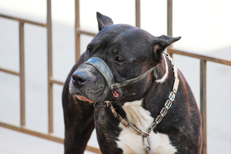 American Tiger Pit Bull Terrier is tied to the fence and expects the owners near the store.