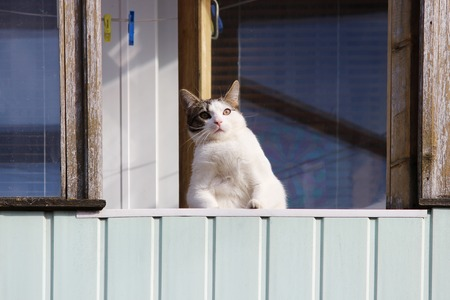 A white fat cat sits on a balcony in the spring and beholds passers-by from there