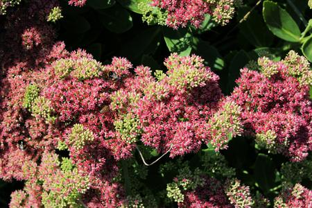 Sedum telephium. Autumn landscape. Flowers Autumn Joy. Hylotelephium telephium