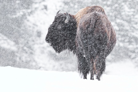 buffalo in a snow storm in idaho, mid december