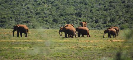 Medium group of elephans walking on grassland
