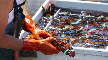 Photo pour Live Maine lobster is in a fishermans hands as the fisherman sorts the days catch of lobsters into seperate bins by size for sale on the seafood market. - image libre de droit