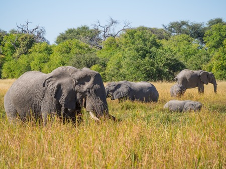 Photo pour Large herd of African elephants grazing in tall river grass with green trees in background - image libre de droit