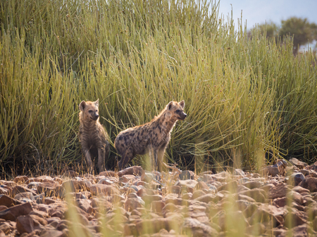 Portrait of spotted hyenas standing in front of green desert bush looking into distance, Palmwag, Namibia, Africa