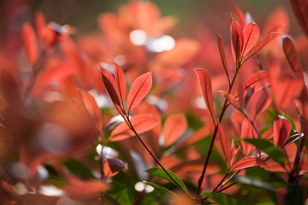 Foto per Photinia leaves - Immagine Royalty Free