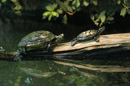 River cooter Pseudemys concinna hieroglyphica and Eastern painted turtle Chrysemys picta picta. Wild life animal.