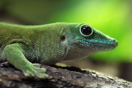 Koch giant day gecko (Phelsuma madagascariensis kochi), also known as the Madagascar day gecko. Wildlife animal.
