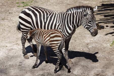 Grant zebra (Equus quagga boehmi) feeding its foal. Wild life animal.