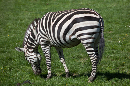 Grant zebra (Equus quagga boehmi). Wild life animal.