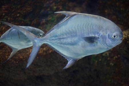 Permit (Trachinotus falcatus). Marine fish.