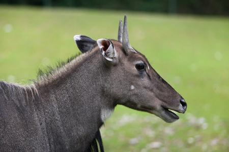 Nilgai (Boselaphus tragocamelus), also known as the nilgau or blue bull.