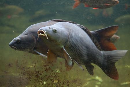 Foto de Wild common carp (Cyprinus carpio). - Imagen libre de derechos