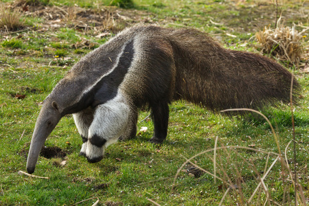 Photo pour Giant anteater (Myrmecophaga tridactyla), also known as the ant bear. - image libre de droit