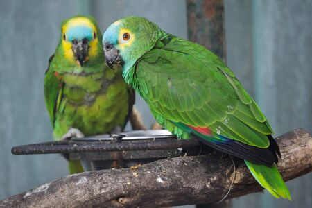 Foto de Turquoise-fronted amazon (Amazona aestiva), also known as the blue-fronted parrot. - Imagen libre de derechos