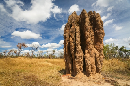 Termite mounds  Nasutitermes triodae , Kakadu National Park, Australia