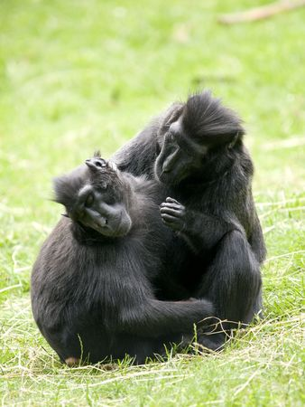 Two Crested Black Macaque (Macaca nigra) cleaning eachother