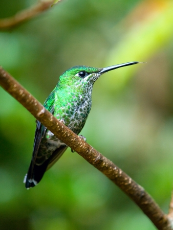 The Green-crowned Brilliant  Heliodoxa jacula  hummingbird in Costa Rica sticking out his tongue