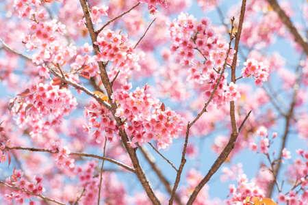 Foto de Thai Sakura flower  background in winter season on tree, prunus cerasoides at  Chaing mai Province, Thailand. - Imagen libre de derechos