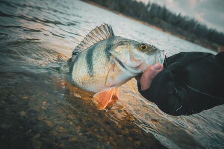 Photo pour Fishing background. Trophy perch - image libre de droit