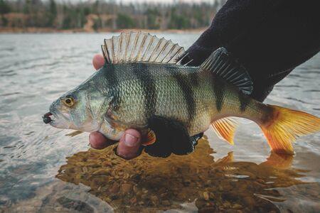 Photo pour Perch in fisherman hand. - image libre de droit