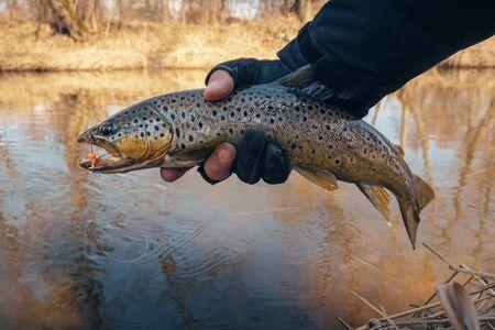 Photo pour Beautiful trout in the hands of a fisherman. - image libre de droit