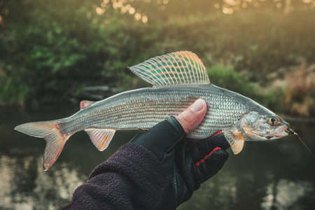Photo pour The fisherman holds a grayling in his hand. - image libre de droit
