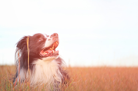 Dog is lying in grass in park. The breed is Border collie. Background is green. He has open mouth and you can see his tongue. He has brown eyes. There is gold sunset.