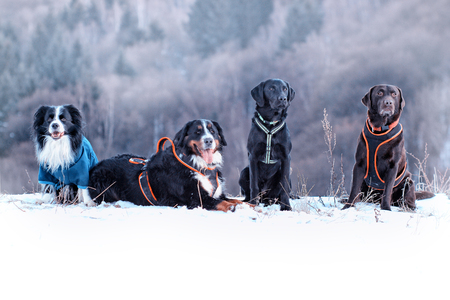 Four dogs are sitting in snow. There are border collie, bernese mountain dog and black and brown labrador retriever. It is winter time and snow is everywhere. It is situated in czech ore mountains.