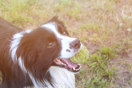 Dog is lying in grass in park. The breed is Border collie. Background is green. He has a tennis ball in the mouth. Dog is playing with his master. There is sunset.