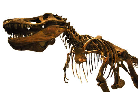 Tyrannosaurus rex skeleton isolated on white background