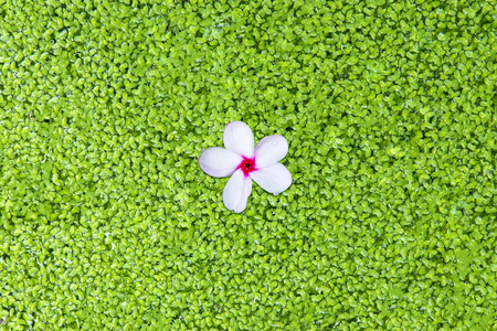 Close up of fresh green algae floating in the water with a beautiful Frangipani flower