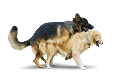 Foto de Image of Two dogs different species mating in the studio, isolated on white background - Imagen libre de derechos