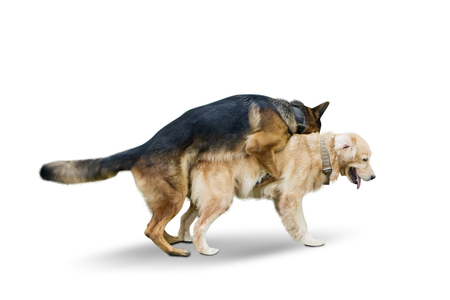Foto de Image of German Shepherd dog mating with Retriever dog in the studio, isolated on white background - Imagen libre de derechos